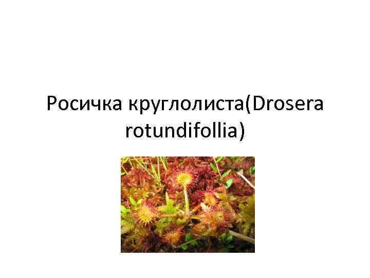 Росичка круглолиста(Drosera rotundifollia)