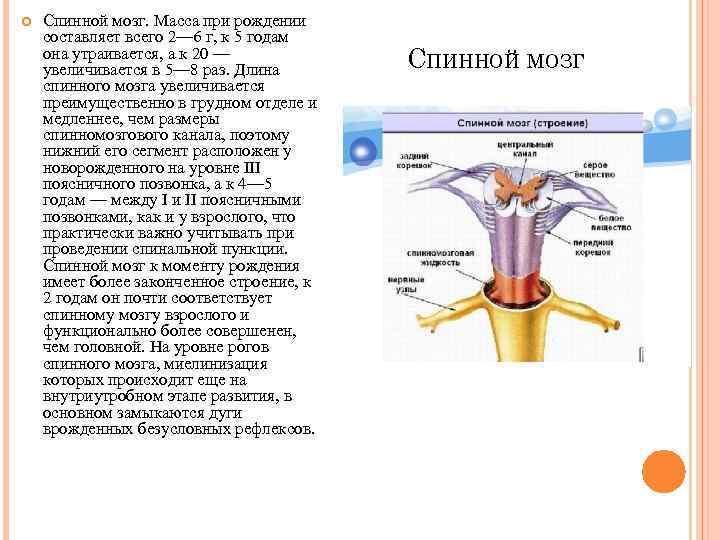 Спинной мозг. Масса при рождении составляет всего 2— 6 г, к 5 годам