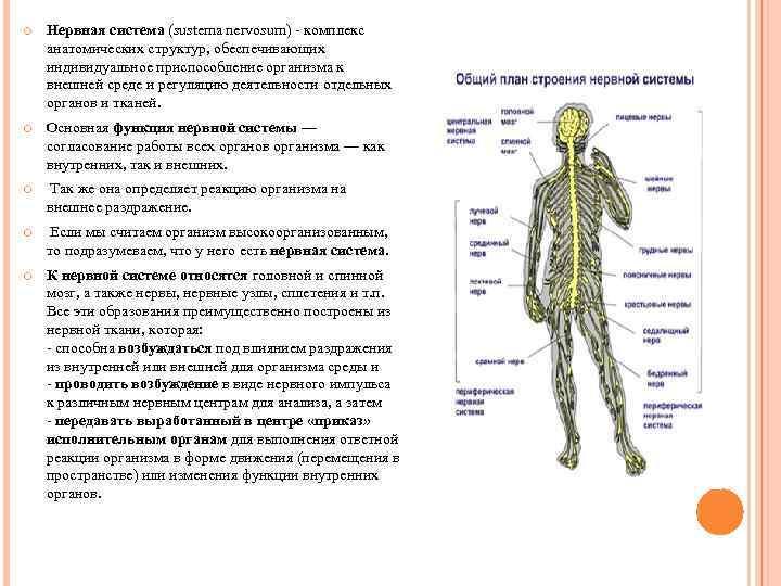 Нервная система (sustema nervosum) комплекс анатомических структур, обеспечивающих индивидуальное приспособление организма к внешней
