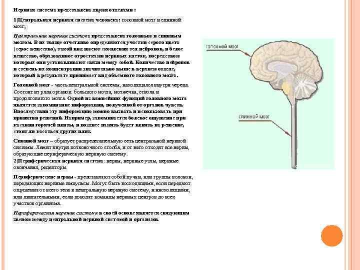 Нервная система представлена двумя отделами : 1)Центральная нервная система человека: головной мозг и спинной