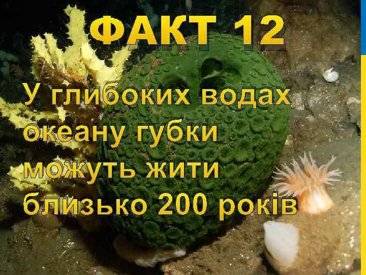 ФАКТ 12 У глибоких водах океану губки можуть жити близько 200 років