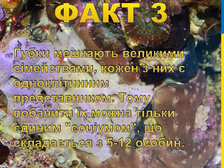 ФАКТ 3 Губки мешкають великими сімействами, кожен з них є одноклітинним представником. Тому побачити
