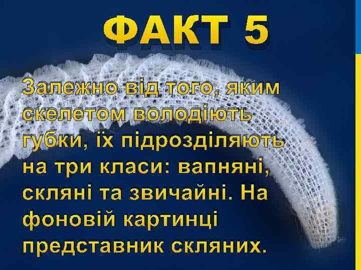 ФАКТ 5 Залежно від того, яким скелетом володіють губки, їх підрозділяють на три класи:
