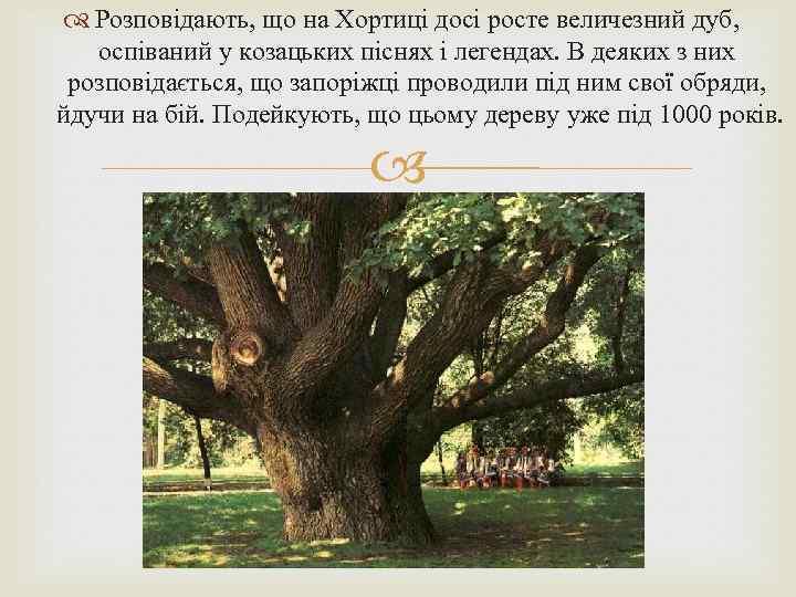 Розповідають, що на Хортиці досі росте величезний дуб, оспіваний у козацьких піснях і