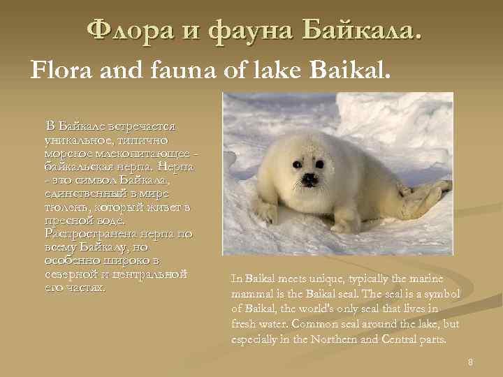 Флора и фауна Байкала. Flora and fauna of lake Baikal. В Байкале встречается уникальное,