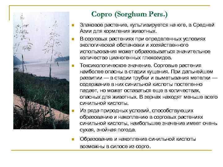 Сорго (Sorghum Pers. ) n n n Злаковое растение, культивируется на юге, в Средней