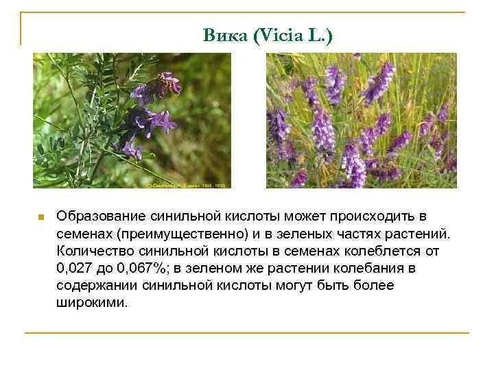 Вика (Vicia L. ) n Образование синильной кислоты может происходить в семенах (преимущественно) и