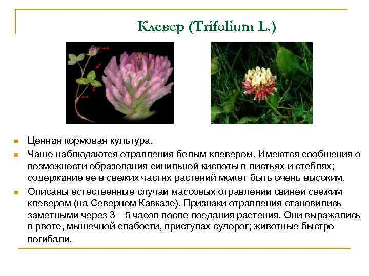 Клевер (Trifolium L. ) n n n Ценная кормовая культура. Чаще наблюдаются отравления белым