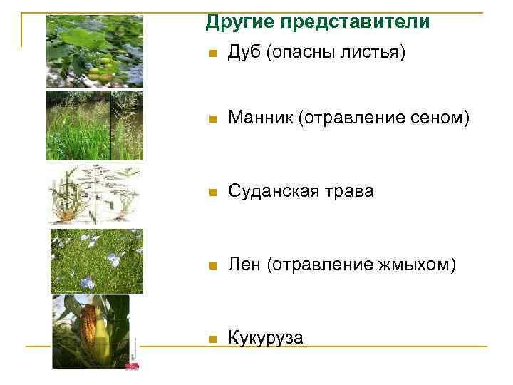 Другие представители n Дуб (опасны листья) n Манник (отравление сеном) n Суданская трава n
