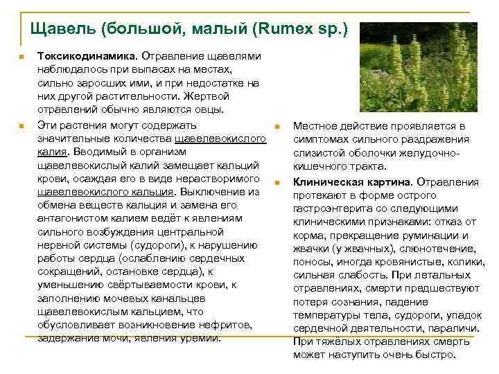 Щавель (большой, малый (Rumex sp. ) n n Токсикодинамика. Отравление щавелями наблюдалось при выпасах