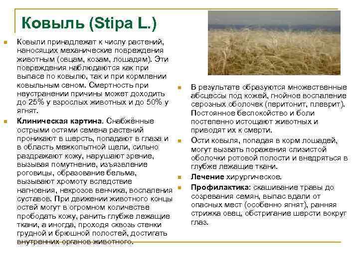 Ковыль (Stipa L. ) n n Ковыли принадлежат к числу растений, наносящих механические повреждения