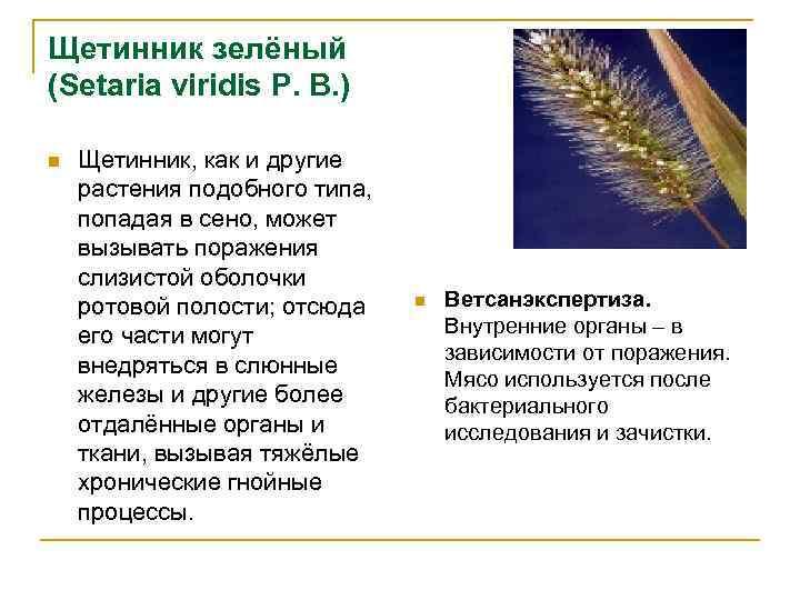 Щетинник зелёный (Setaria viridis Р. В. ) n Щетинник, как и другие растения подобного