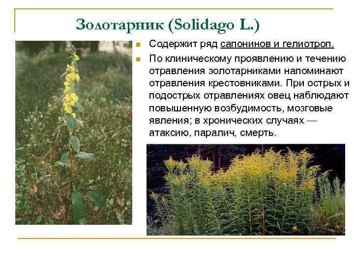 Золотарник (Solidago L. ) n n Содержит ряд сапонинов и гелиотроп. По клиническому проявлению