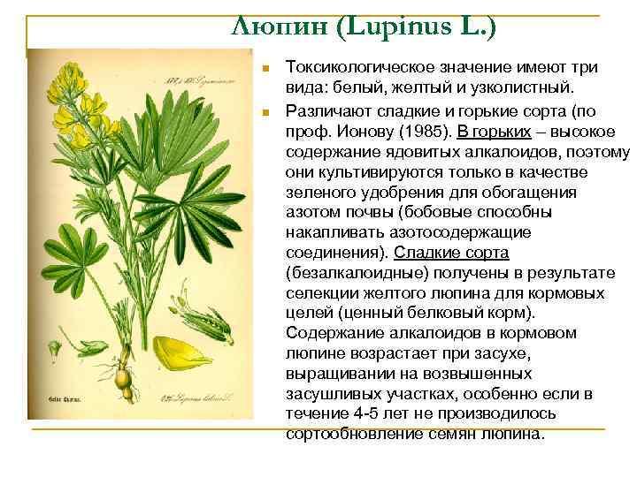 Люпин (Lupinus L. ) n n Токсикологическое значение имеют три вида: белый, желтый и