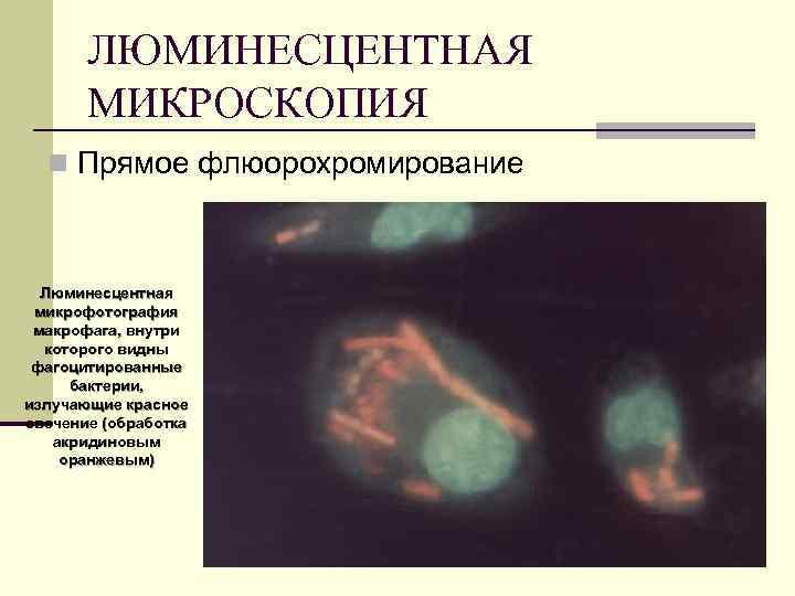 ЛЮМИНЕСЦЕНТНАЯ МИКРОСКОПИЯ n Прямое флюорохромирование Люминесцентная микрофотография макрофага, внутри которого видны фагоцитированные бактерии, излучающие
