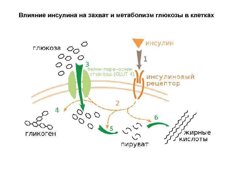Как глюкоза влияет на организм