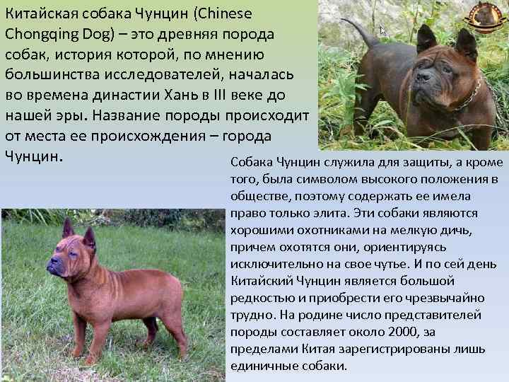 Китайская собака Чунцин (Chinese Chongqing Dog) – это древняя порода собак, история которой, по