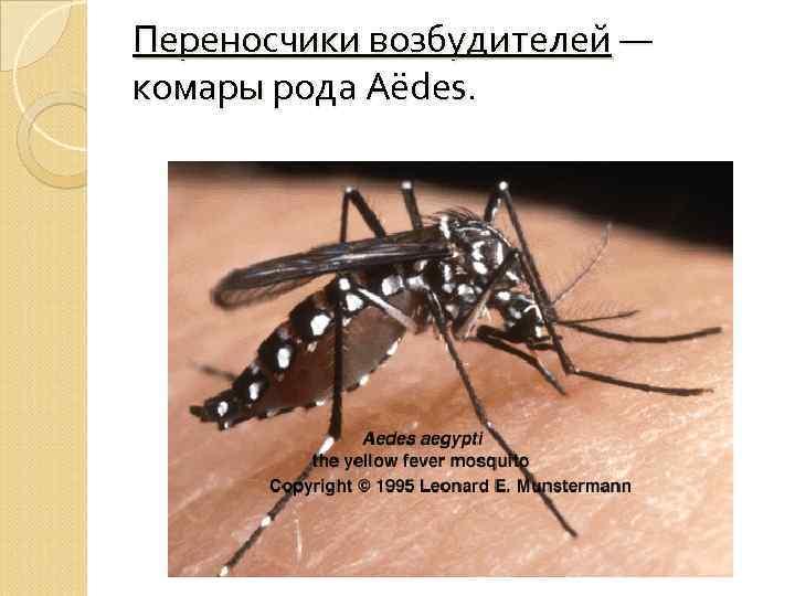Переносчики возбудителей — комары рода Aёdes.
