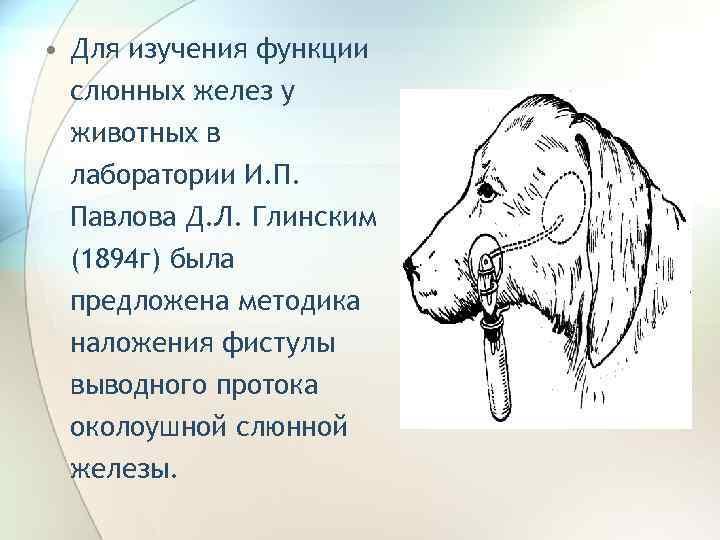 • Для изучения функции слюнных желез у животных в лаборатории И. П. Павлова