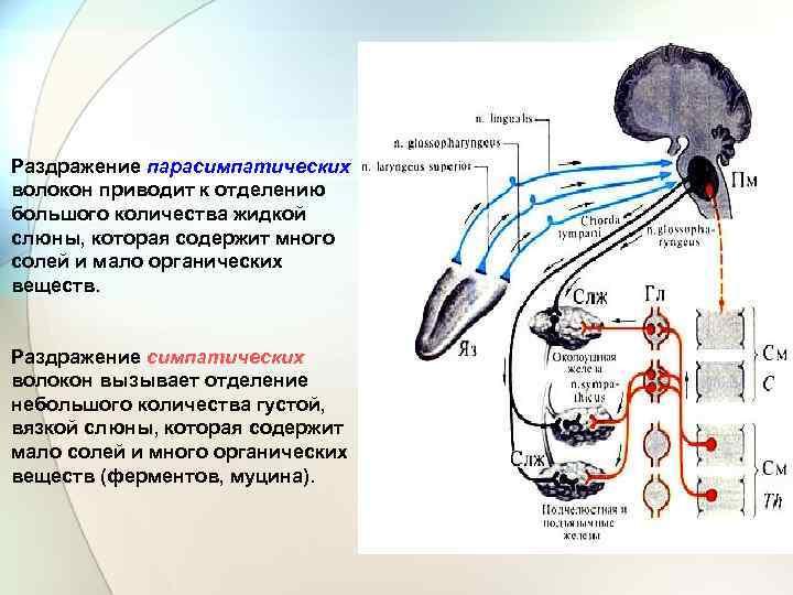 Раздражение парасимпатических волокон приводит к отделению большого количества жидкой слюны, которая содержит много солей