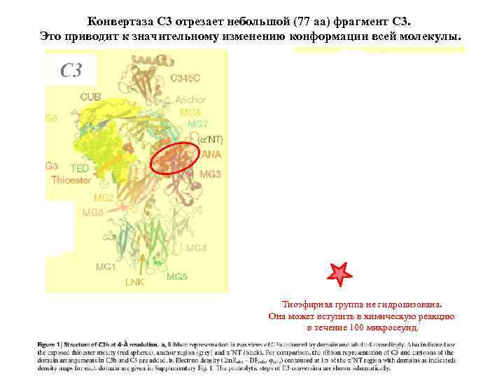 Конвертаза С 3 отрезает небольшой (77 аа) фрагмент С 3. Это приводит к значительному