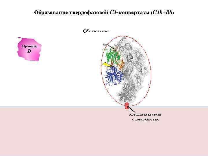 Образование твердофазовой С 3 -конвертазы (C 3 b+Bb) Образовалась конвертаза C 3 Протеаза D