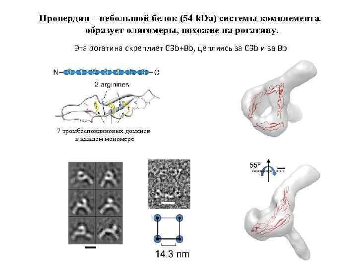 Пропердин – небольшой белок (54 k. Da) системы комплемента, образует олигомеры, похожие на рогатину.