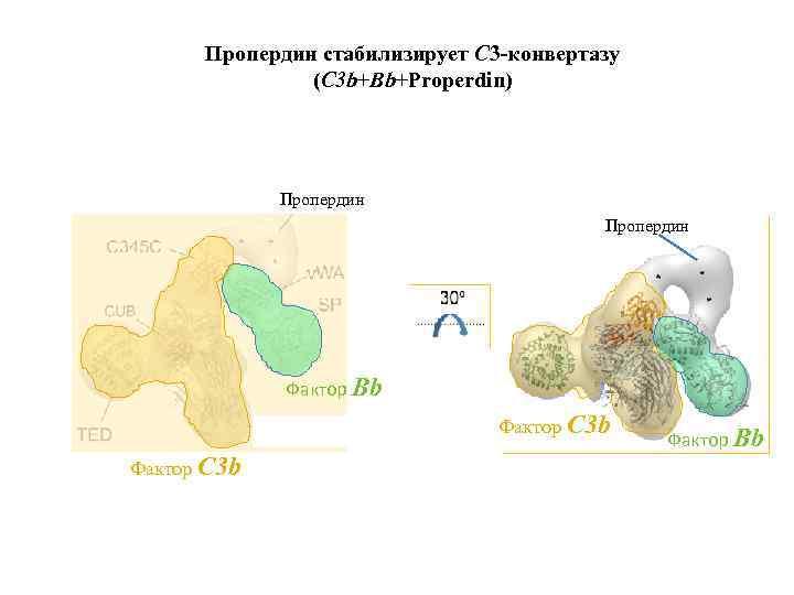 Пропердин стабилизирует С 3 -конвертазу (C 3 b+Bb+Properdin) Пропердин Фактор Bb Фактор C 3