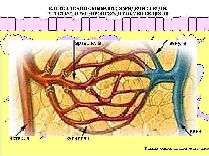 КЛЕТКИ ТКАНИ ОМЫВАЮТСЯ ЖИДКОЙ СРЕДОЙ, ЧЕРЕЗ КОТОРУЮ ПРОИСХОДИТ ОБМЕН ВЕЩЕСТВ артериола венула Клетки, населяющие