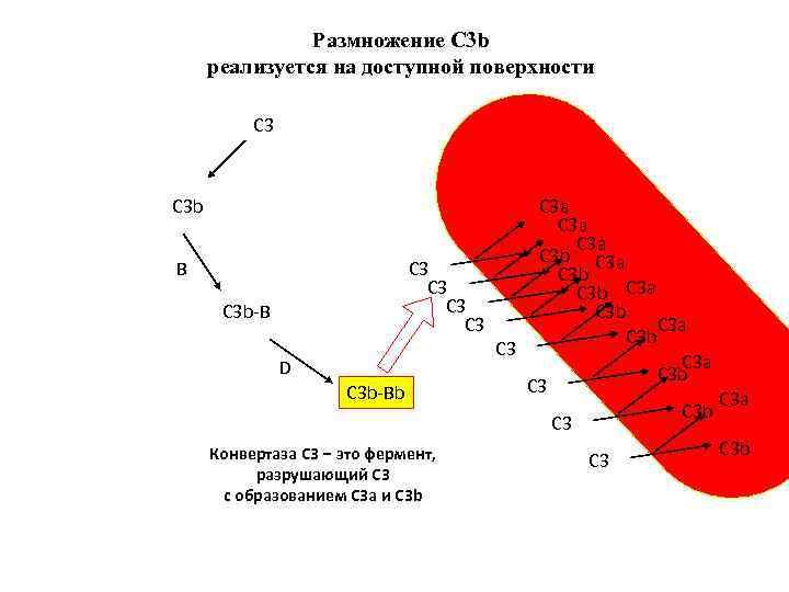 Размножение С 3 b реализуется на доступной поверхности С 3 b B C 3