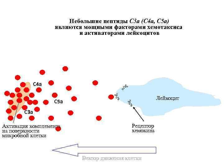 Небольшие пептиды С 3 a (C 4 a, C 5 a) являются мощными факторами