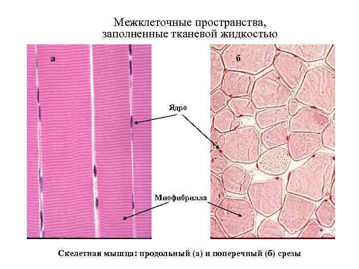 Межклеточные пространства, заполненные тканевой жидкостью а б Ядро Миофибрилла Скелетная мышца: продольный (а) и