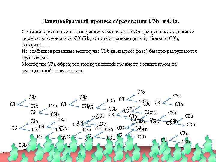 Лавинообразный процесс образования C 3 b и C 3 a. Стабилизированные на поверхности молекулы
