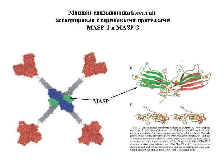 Маннан-связывающий лектин ассоциирован с сериновыми протеазами MASP-1 и MASP-2 MASP