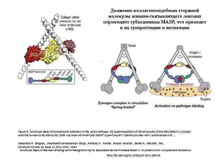 Движение коллагеноподобных стержней молекулы маннан-связывающего лектина перемещает субъединицы MASP, что приводит к их суперпозиции