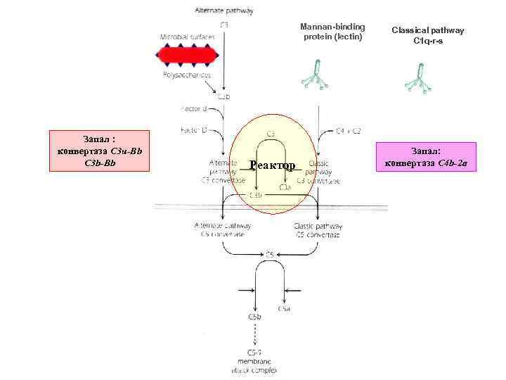 Mannan-binding protein (lectin) Запал : конвертаза C 3 u-Bb C 3 b-Bb Реактор Classical
