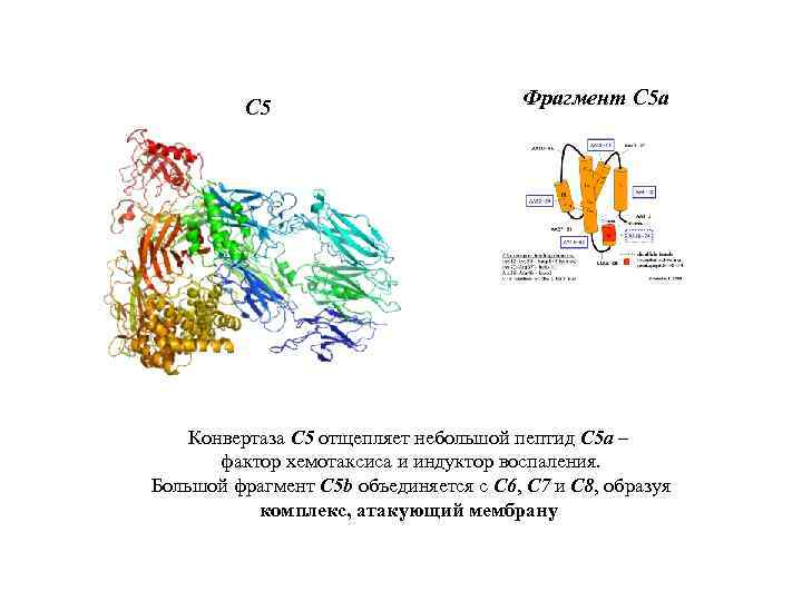 С 5 Фрагмент С 5 а Конвертаза C 5 отщепляет небольшой пептид C 5