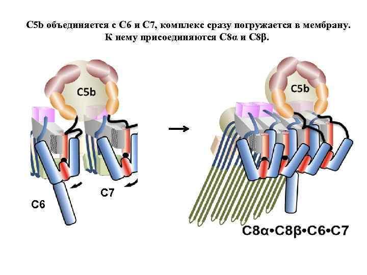 C 5 b объединяется с C 6 и C 7, комплекс сразу погружается в