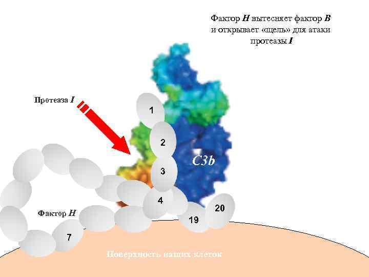 Фактор Н вытесняет фактор В и открывает «щель» для атаки протеазы I Протеаза I
