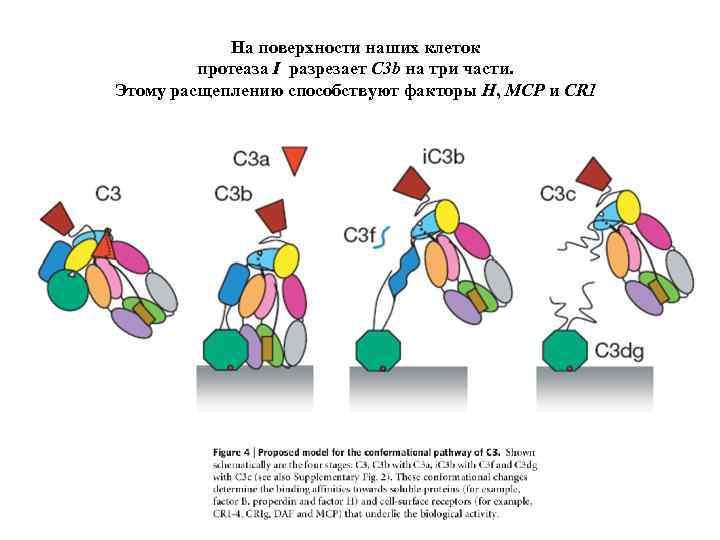 На поверхности наших клеток протеаза I разрезает C 3 b на три части. Этому