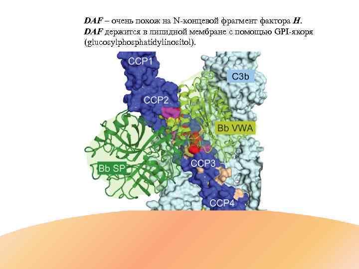 DAF – очень похож на N-концевой фрагмент фактора H. DAF держится в липидной мембране