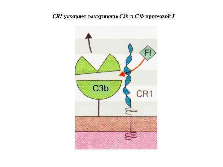 CR 1 ускоряет разрушение C 3 b и C 4 b протеазой I C