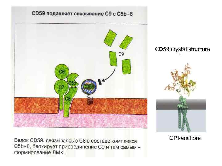 CD 59 crystal structure GPI-anchore
