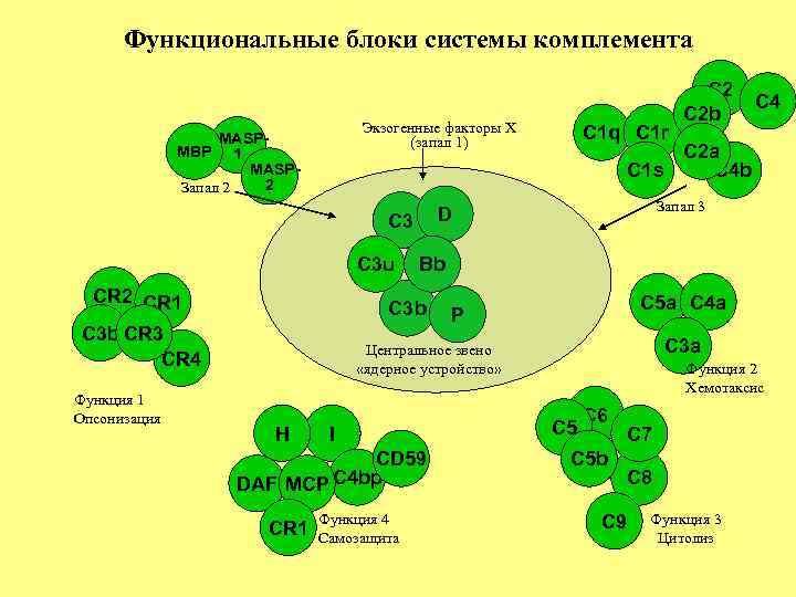 Функциональные блоки системы комплемента Экзогенные факторы X (запал 1) MASPMBP 1 MASP 2 Запал
