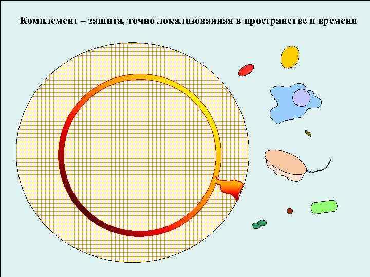 Комплемент – защита, точно локализованная в пространстве и времени вирусов и