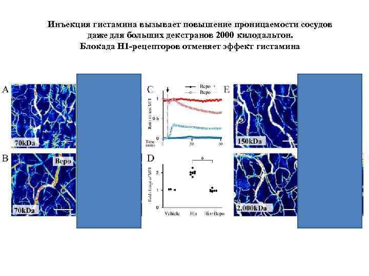 Инъекция гистамина вызывает повышение проницаемости сосудов даже для больших декстранов 2000 килодальтон. Блокада H
