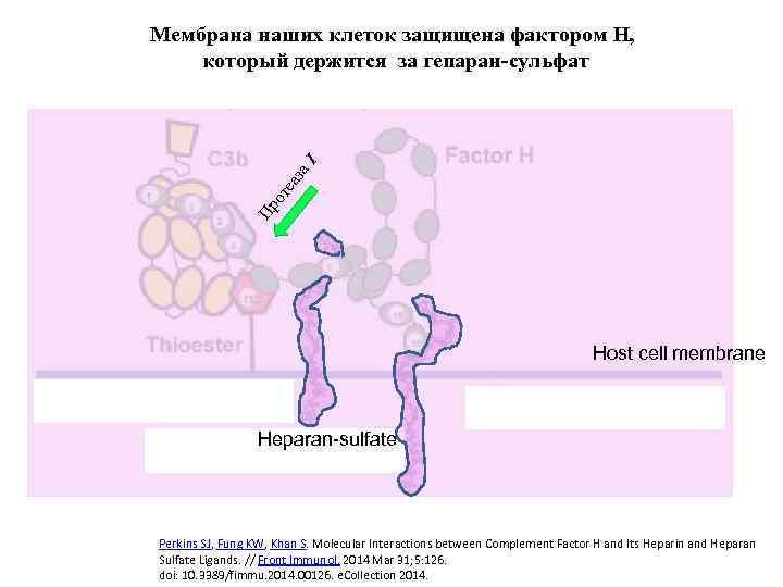 Пр от еа за I Мембрана наших клеток защищена фактором H, который держится за