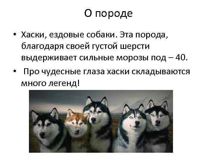 О породе • Хаски, ездовые собаки. Эта порода, благодаря своей густой шерсти выдерживает сильные