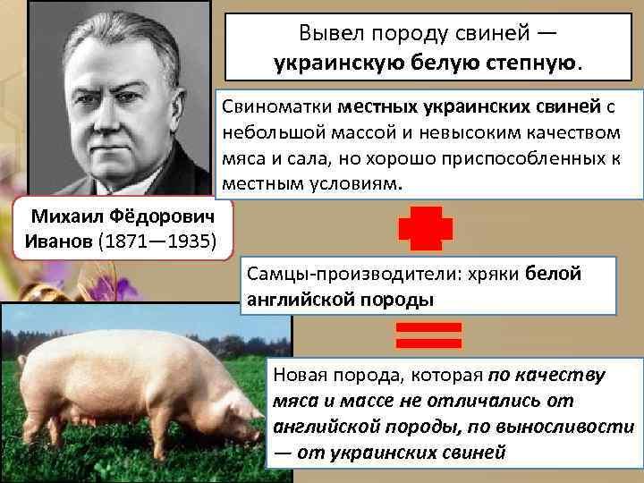 Вывел породу свиней — украинскую белую степную. Свиноматки местных украинских свиней с небольшой массой