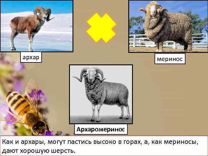 архар меринос Архаромеринос Как и архары, могут пастись высоко в горах, а, как мериносы,